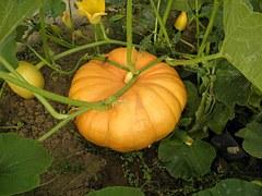 pumpkin-175396__180